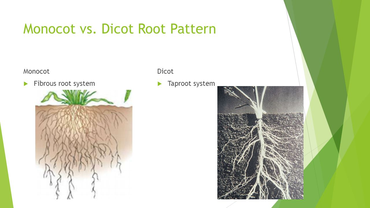 Monocot vs. Dicot Root Pattern Monocot  Fibrous root system Dicot  Taproot system