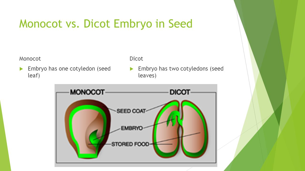 Monocot vs. Dicot Embryo in Seed Monocot  Embryo has one cotyledon (seed leaf) Dicot  Embryo has two cotyledons (seed leaves)