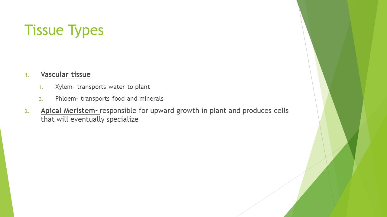 Tissue Types 1. Vascular tissue 1. Xylem- transports water to plant 2. Phloem- transports food and minerals 2. Apical Meristem- responsible for upward