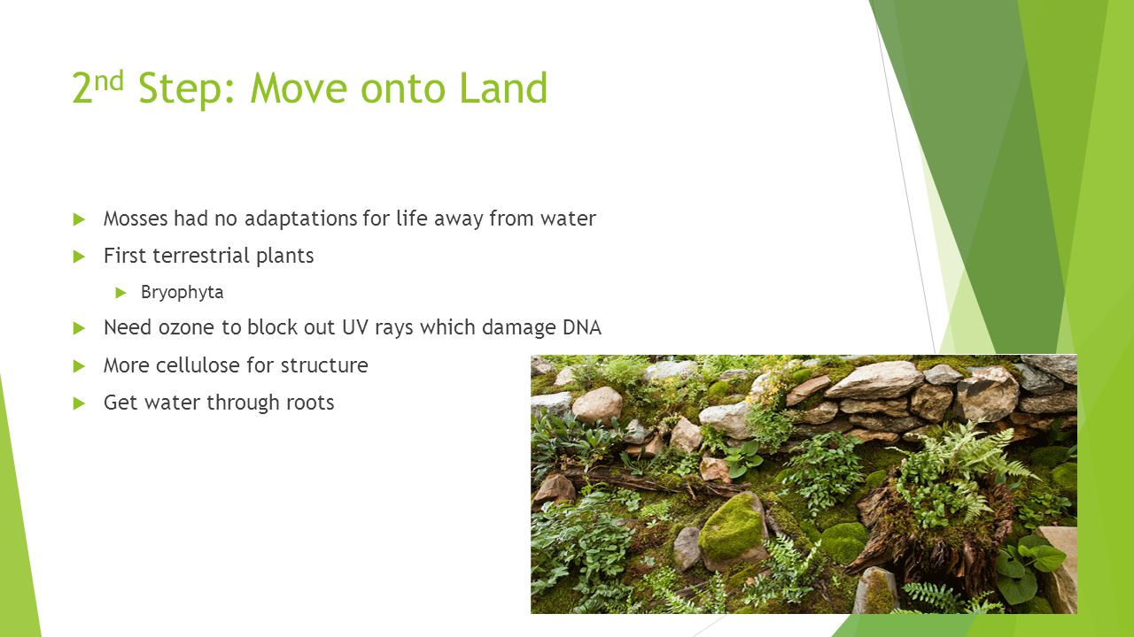 2 nd Step: Move onto Land  Mosses had no adaptations for life away from water  First terrestrial plants  Bryophyta  Need ozone to block out UV ray