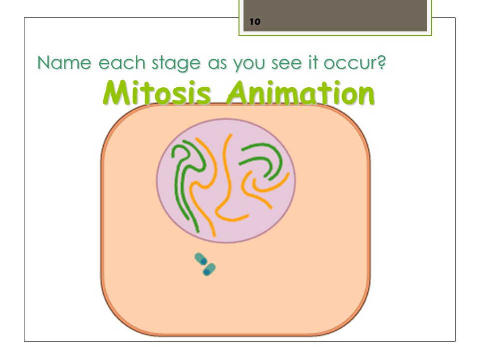 10 Mitosis Animation Name each stage as you see it occur?
