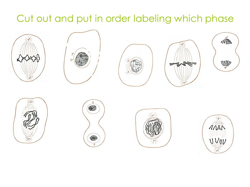 Cut out and put in order labeling which phase
