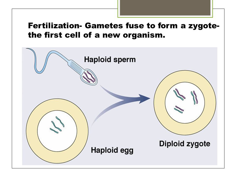 Fertilization- Gametes fuse to form a zygote- the first cell of a new organism.