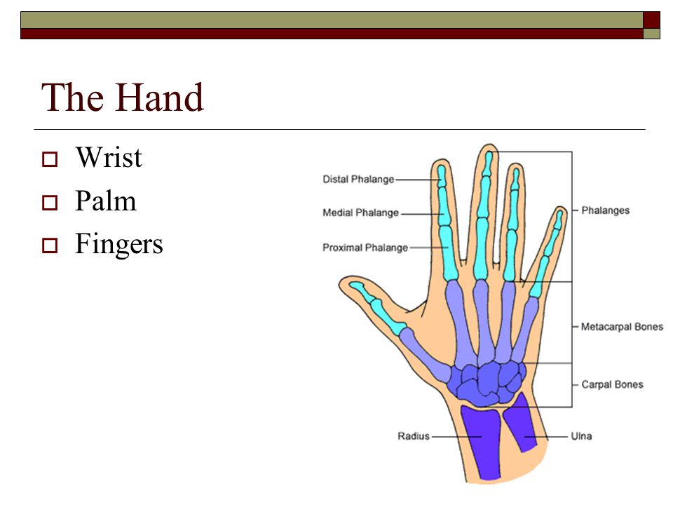 The Hand  Wrist  Palm  Fingers