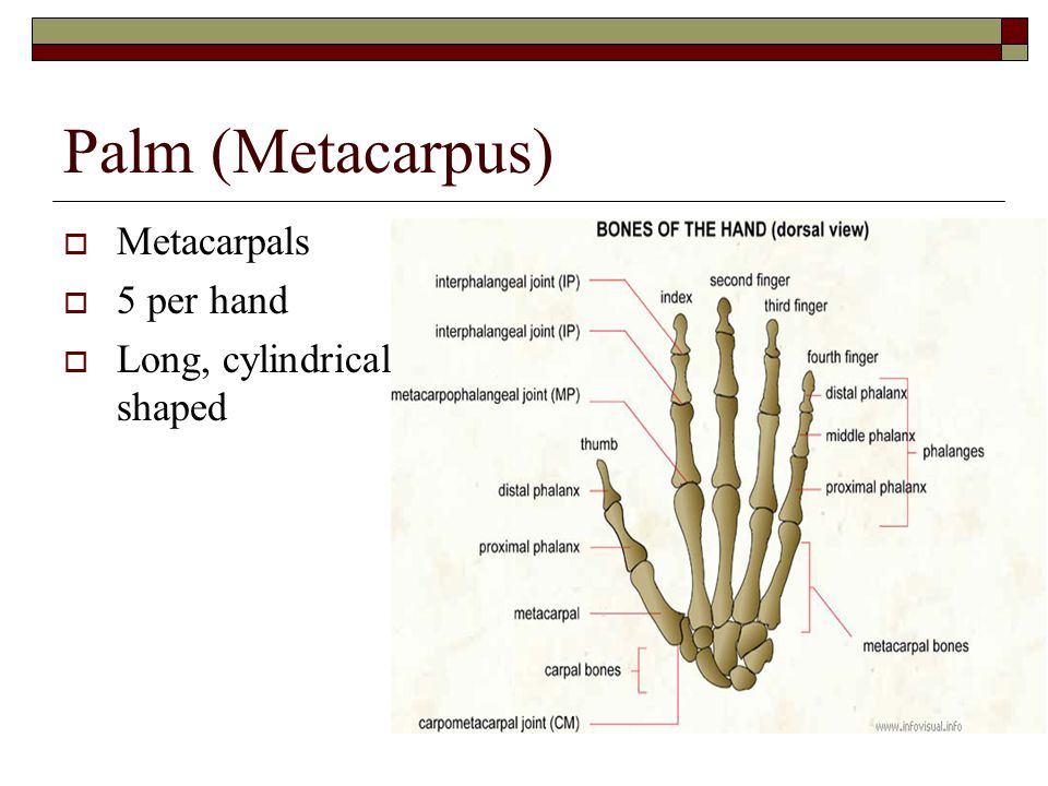Palm (Metacarpus)  Metacarpals  5 per hand  Long, cylindrical shaped
