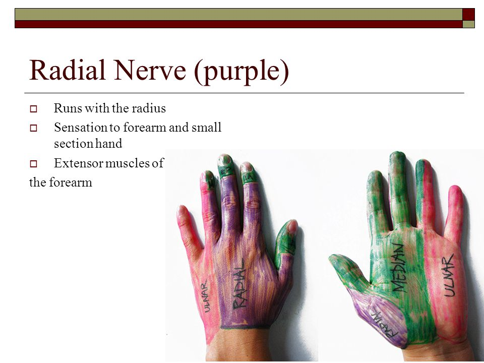 Radial Nerve (purple)  Runs with the radius  Sensation to forearm and small section hand  Extensor muscles of the forearm