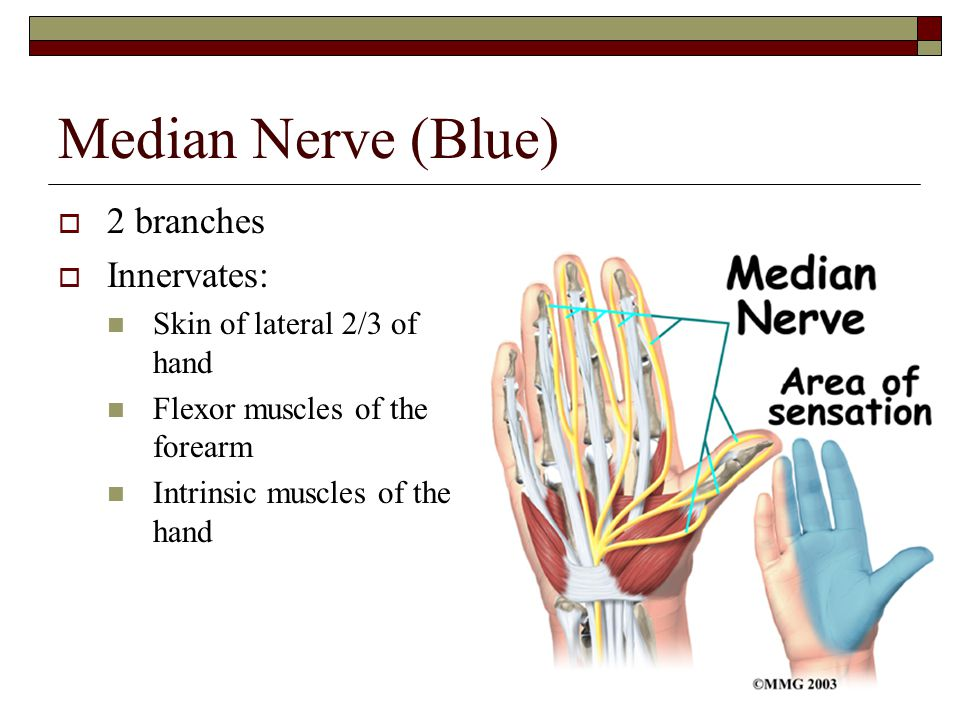 Median Nerve (Blue)  2 branches  Innervates: Skin of lateral 2/3 of hand Flexor muscles of the forearm Intrinsic muscles of the hand