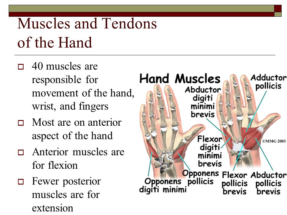 Muscles and Tendons of the Hand  40 muscles are responsible for movement of the hand, wrist, and fingers  Most are on anterior aspect of the hand 