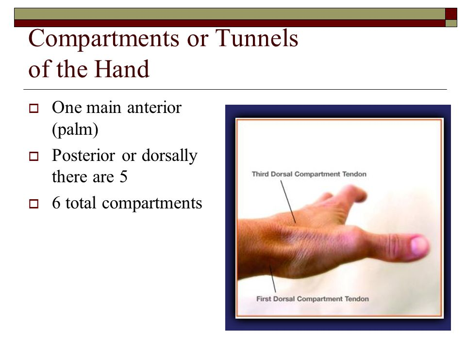 Compartments or Tunnels of the Hand  One main anterior (palm)  Posterior or dorsally there are 5  6 total compartments