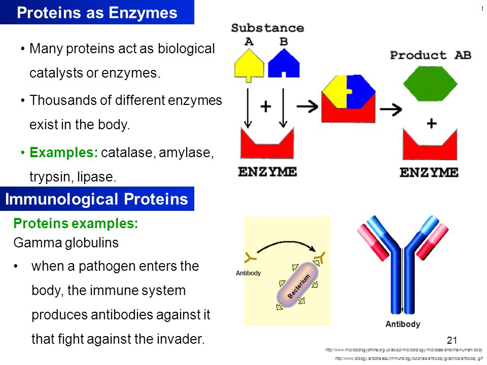 Kulsoom Proteins as Enzymes Many proteins act as biological catalysts or enzymes.