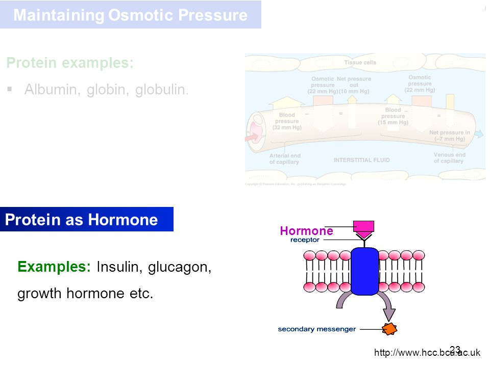 Kulsoom Maintaining Osmotic Pressure 23 Protein examples:  Albumin, globin, globulin. Protein as Hormone http://www.hcc.bcu.ac.uk Hormone Examples: I