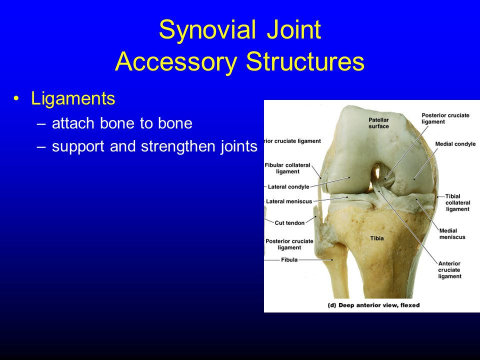Synovial Joint Accessory Structures Ligaments –attach bone to bone –support and strengthen joints
