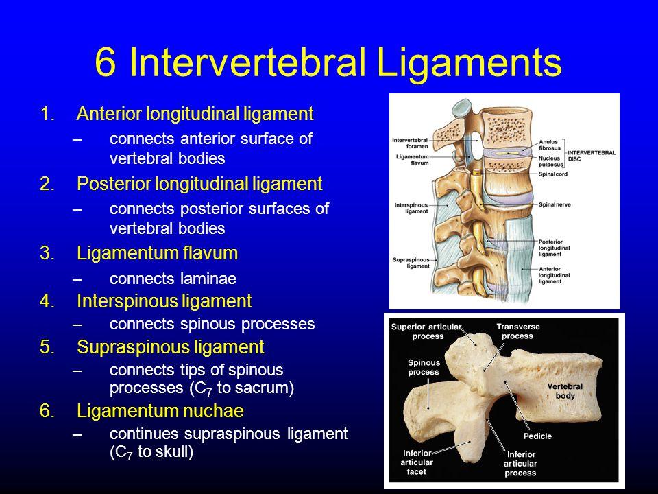 6 Intervertebral Ligaments 1.Anterior longitudinal ligament –connects anterior surface of vertebral bodies 2.Posterior longitudinal ligament –connects