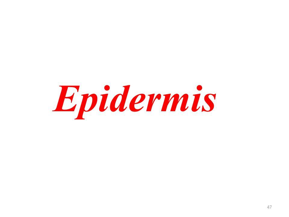 47 Epidermis