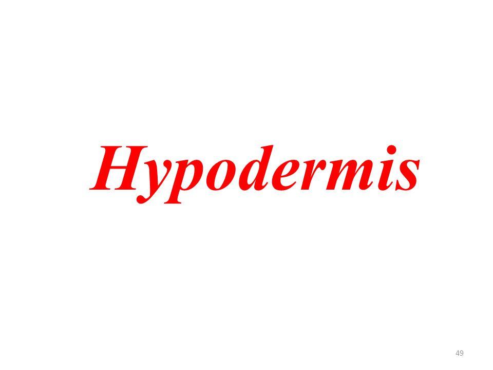 49 Hypodermis