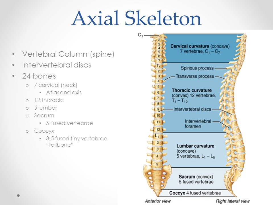 Axial Skeleton Vertebral Column (spine) Intervertebral discs 24 bones o 7 cervical (neck) Atlas and axis o 12 thoracic o 5 lumbar o Sacrum 5 Fused ver