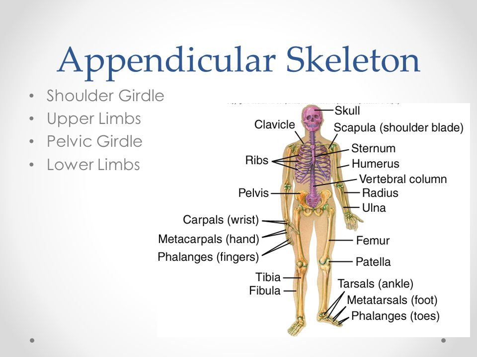 Appendicular Skeleton Shoulder Girdle Upper Limbs Pelvic Girdle Lower Limbs
