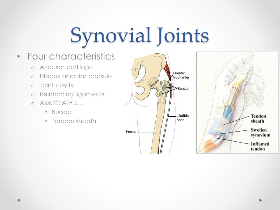 Synovial Joints Four characteristics o Articular cartilage o Fibrous articular capsule o Joint cavity o Reinforcing ligaments o ASSOCIATED… Bursae Ten