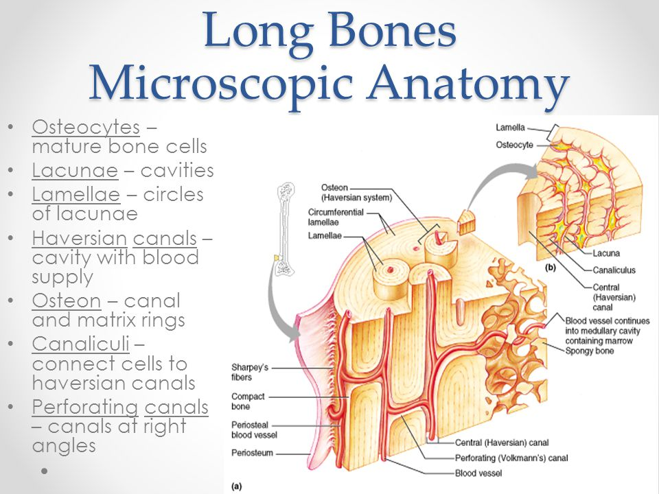Long Bones Microscopic Anatomy Osteocytes – mature bone cells Lacunae – cavities Lamellae – circles of lacunae Haversian canals – cavity with blood su