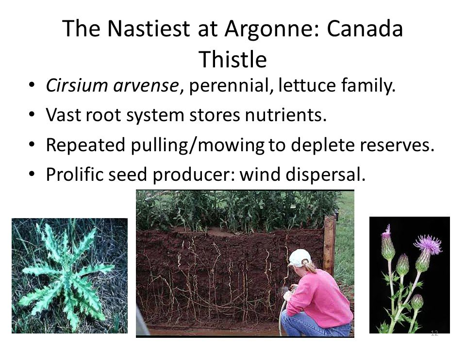The Nastiest at Argonne: Canada Thistle Cirsium arvense, perennial, lettuce family.