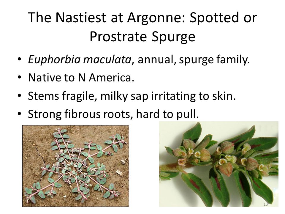 The Nastiest at Argonne: Spotted or Prostrate Spurge Euphorbia maculata, annual, spurge family.