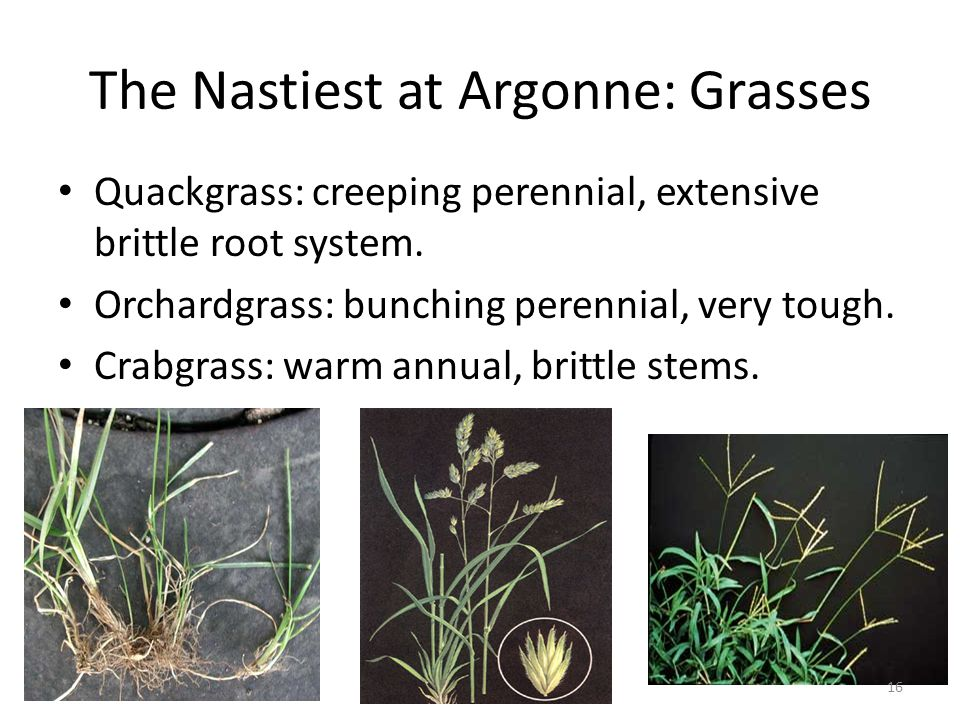 The Nastiest at Argonne: Grasses Quackgrass: creeping perennial, extensive brittle root system.
