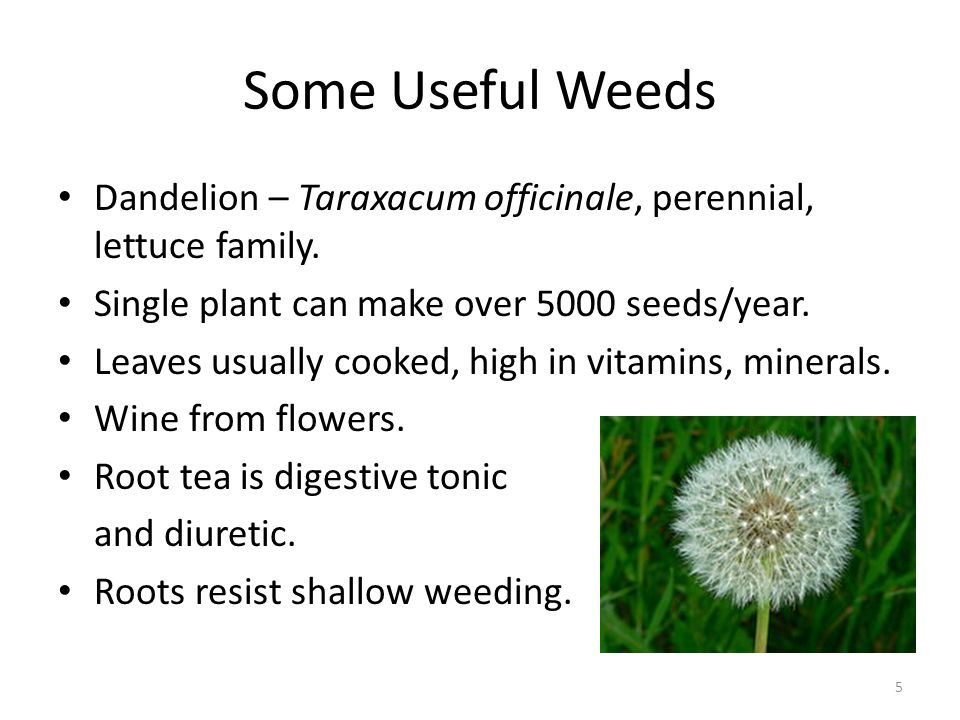 Some Useful Weeds Dandelion – Taraxacum officinale, perennial, lettuce family.