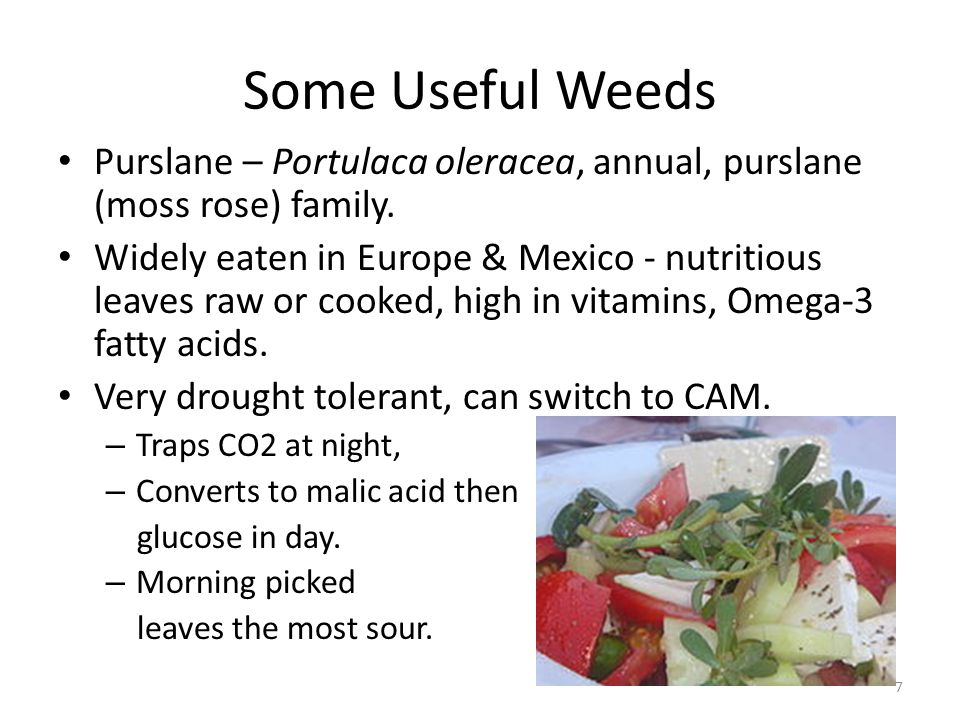 Some Useful Weeds Purslane – Portulaca oleracea, annual, purslane (moss rose) family. Widely eaten in Europe & Mexico - nutritious leaves raw or cooke