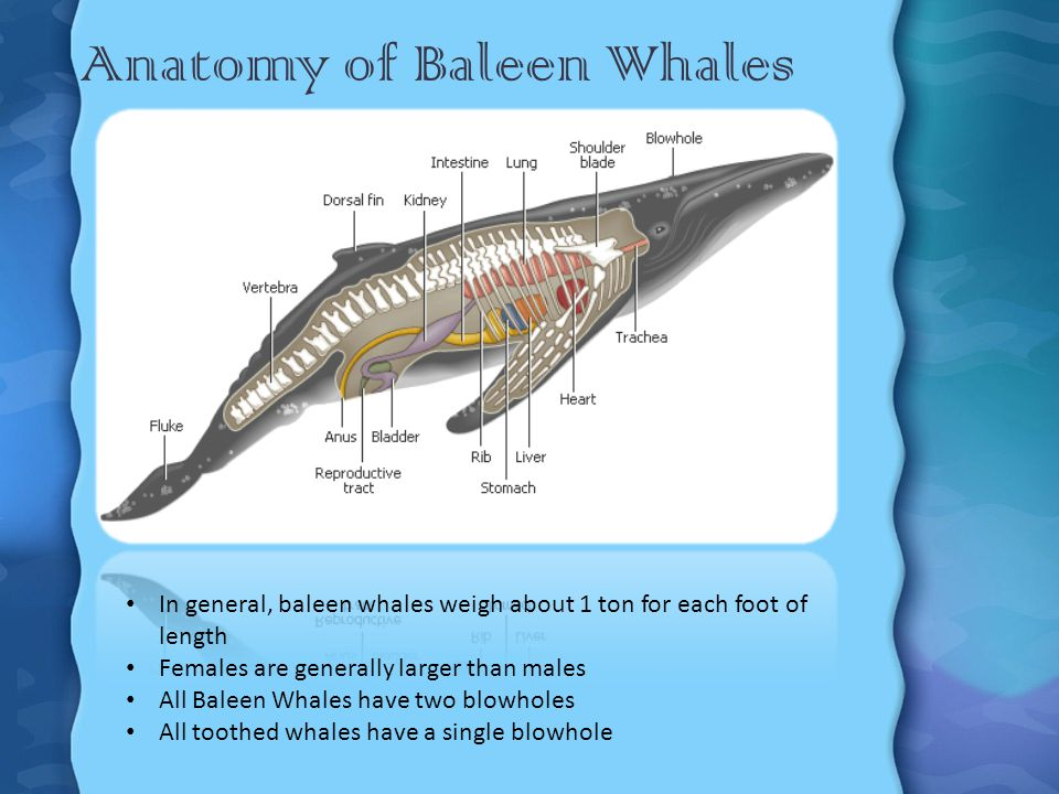 Anatomy of Baleen Whales Cont.