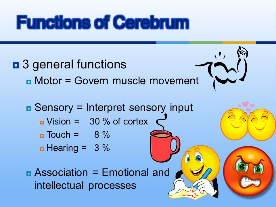  3 general functions  Motor = Govern muscle movement  Sensory = Interpret sensory input  Vision = 30 % of cortex  Touch = 8 %  Hearing = 3 %  A