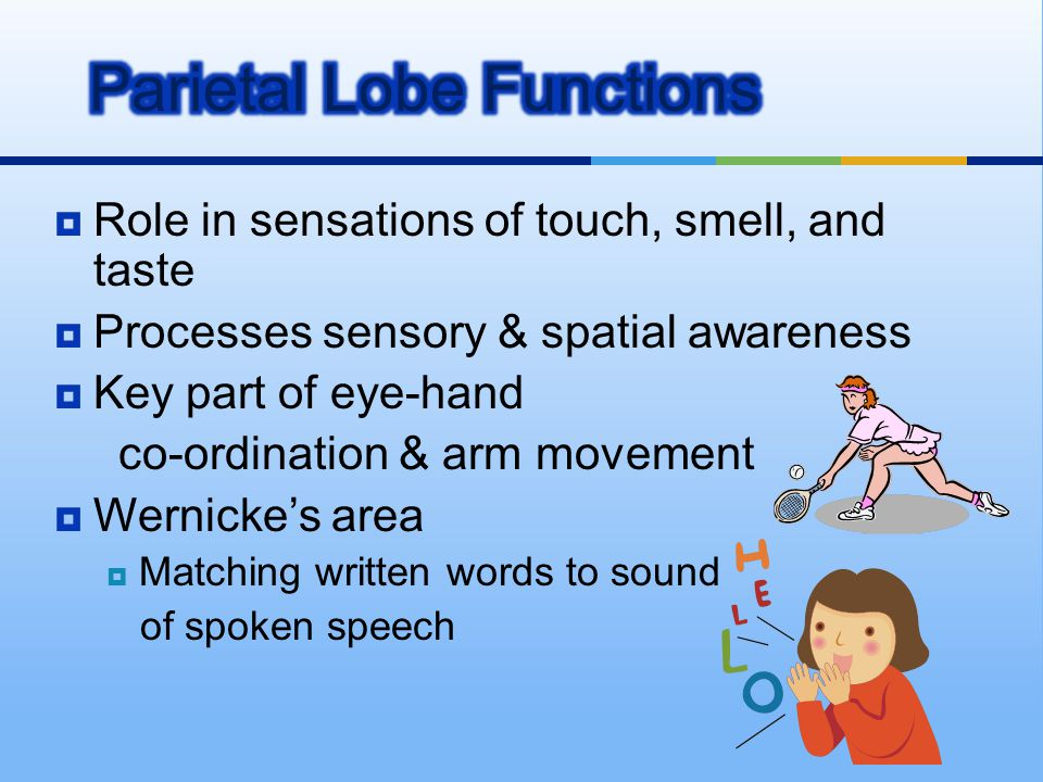  Role in sensations of touch, smell, and taste  Processes sensory & spatial awareness  Key part of eye-hand co-ordination & arm movement  Wernicke
