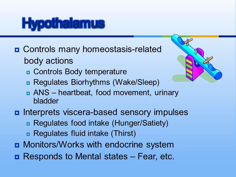  Controls many homeostasis-related body actions  Controls Body temperature  Regulates Biorhythms (Wake/Sleep)  ANS – heartbeat, food movement, uri
