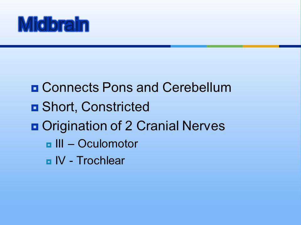  Connects Pons and Cerebellum  Short, Constricted  Origination of 2 Cranial Nerves  III – Oculomotor  IV - Trochlear