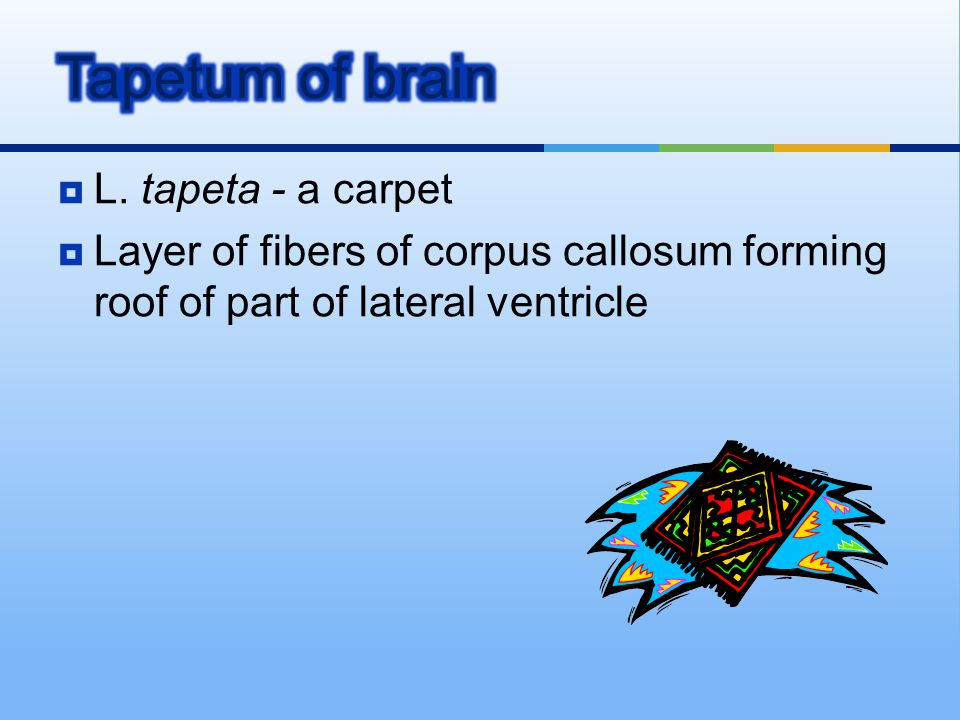  L. tapeta - a carpet  Layer of fibers of corpus callosum forming roof of part of lateral ventricle