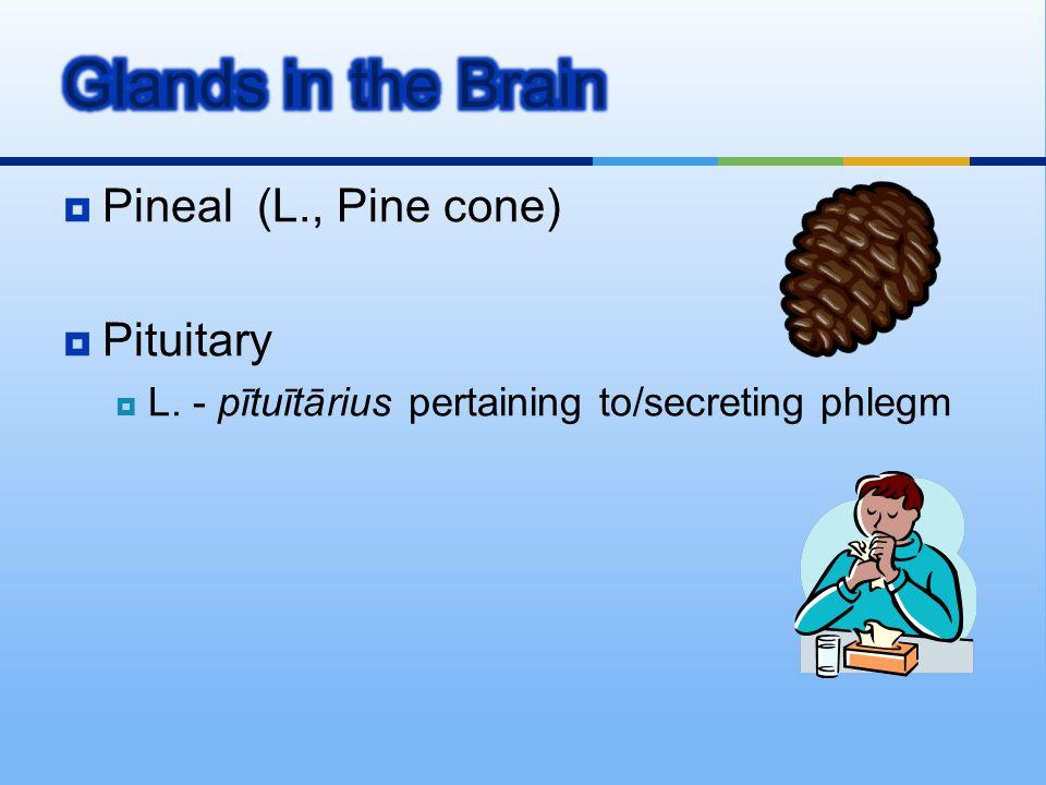  Pineal (L., Pine cone)  Pituitary  L. - pītuītārius pertaining to/secreting phlegm