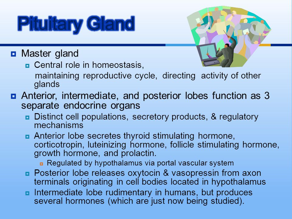  Master gland  Central role in homeostasis, maintaining reproductive cycle, directing activity of other glands  Anterior, intermediate, and posteri