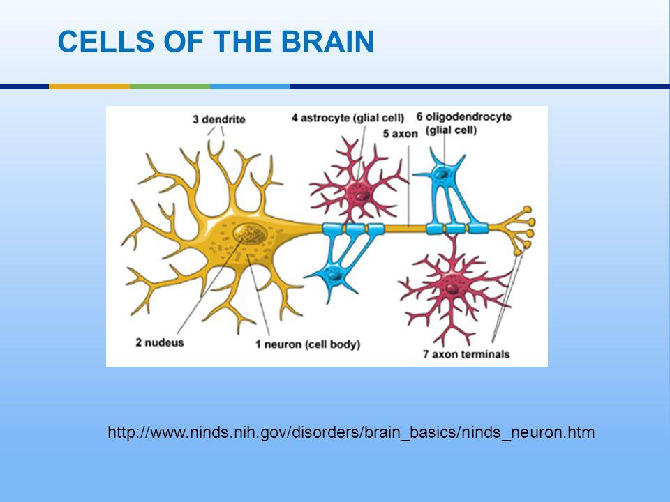 CELLS OF THE BRAIN http://www.ninds.nih.gov/disorders/brain_basics/ninds_neuron.htm