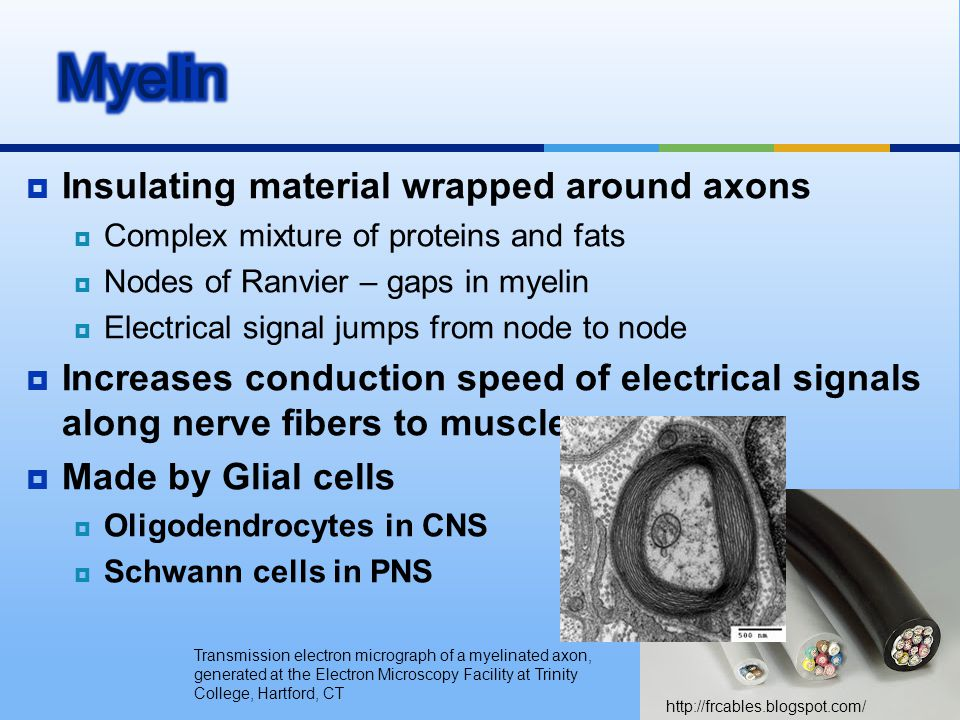  Insulating material wrapped around axons  Complex mixture of proteins and fats  Nodes of Ranvier – gaps in myelin  Electrical signal jumps from n