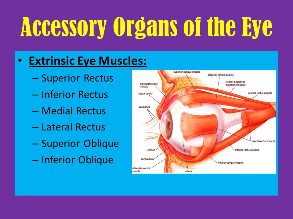 Accessory Organs of the Eye Extrinsic Eye Muscles: