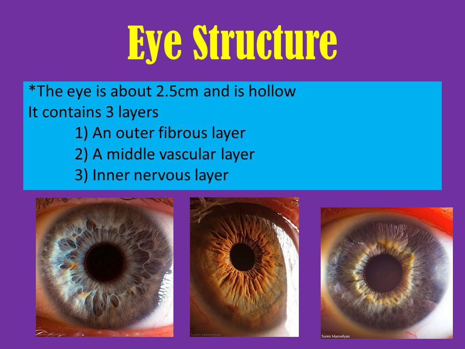 Outer Layer Cornea: – focuses entering light rays – Made of connective tissue + epithelium – Avascular Sclera: (the white part) – Collagenous + elastic fibers – Protects eye – Provides a place for muscle attachment