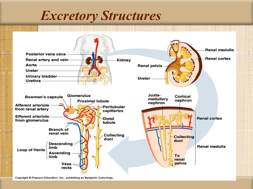 Excretory Structures