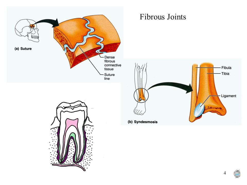 4 Fibrous Joints