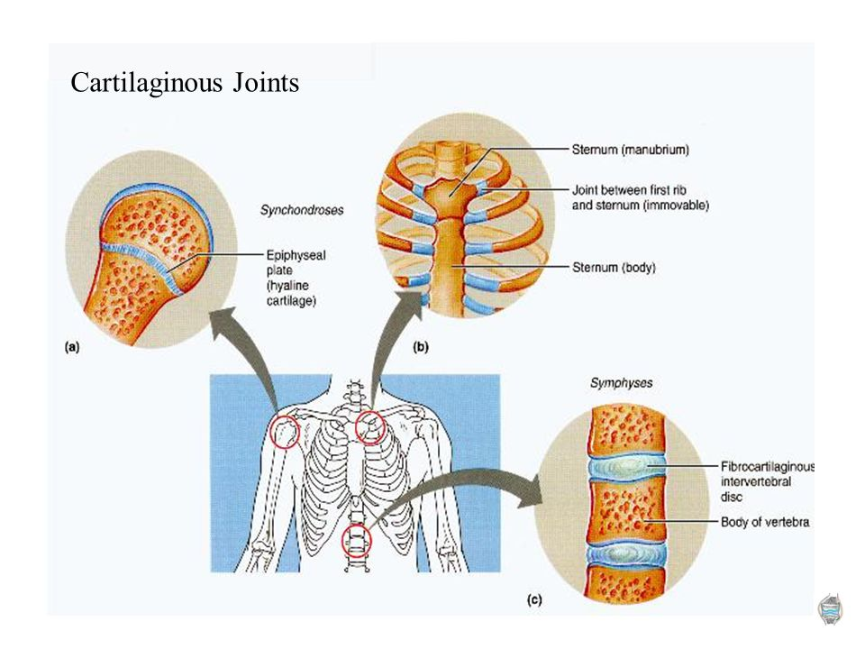 6 Cartilaginous Joints