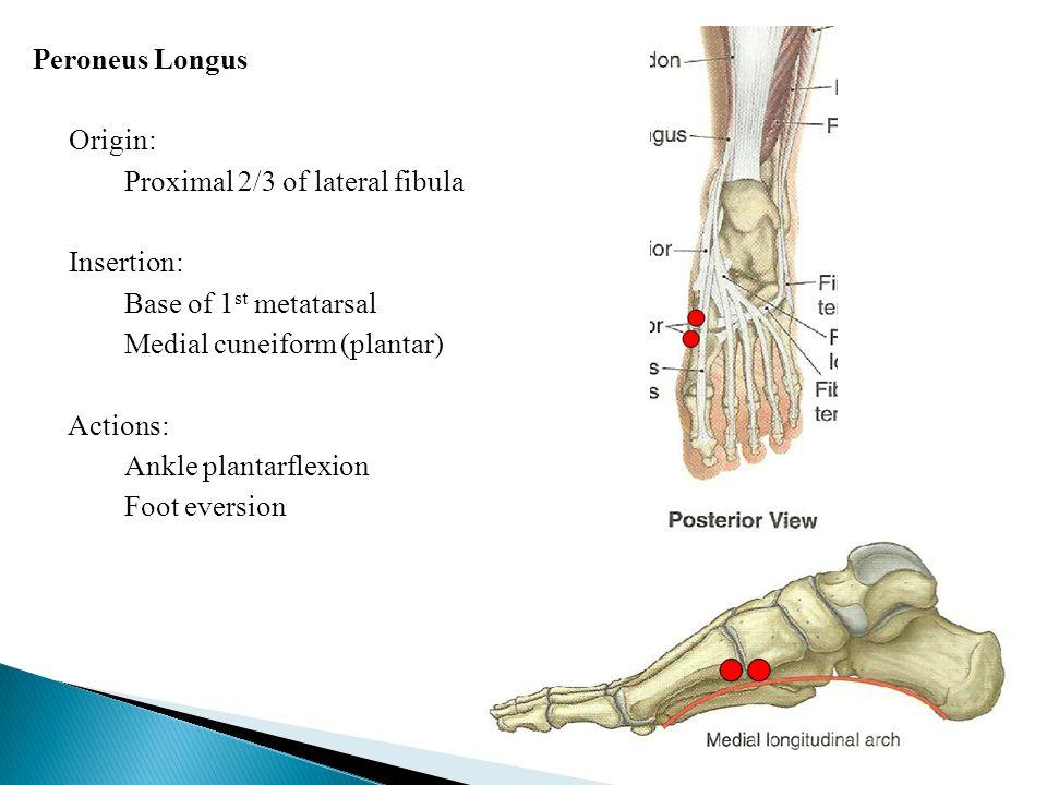 Peroneus Longus Origin: Proximal 2/3 of lateral fibula Insertion: Base of 1 st metatarsal Medial cuneiform (plantar) Actions: Ankle plantarflexion Foo
