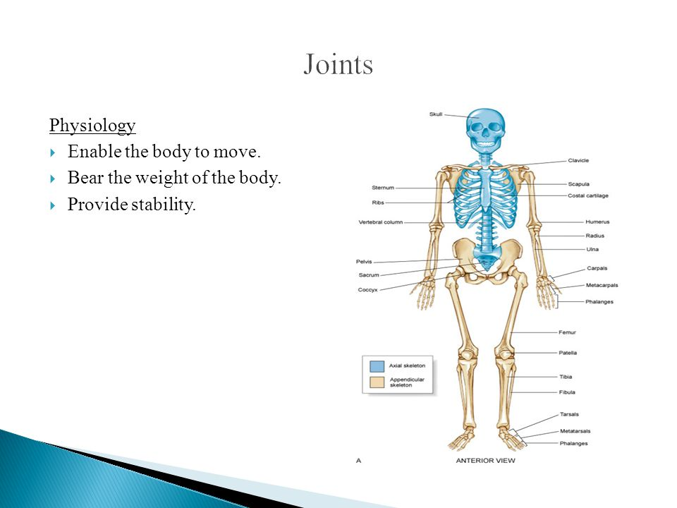 Physiology  Enable the body to move.  Bear the weight of the body.  Provide stability.