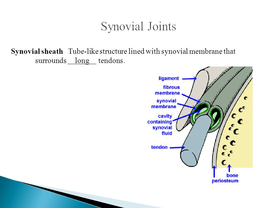 Synovial sheath Tube-like structure lined with synovial membrane that surrounds long tendons.