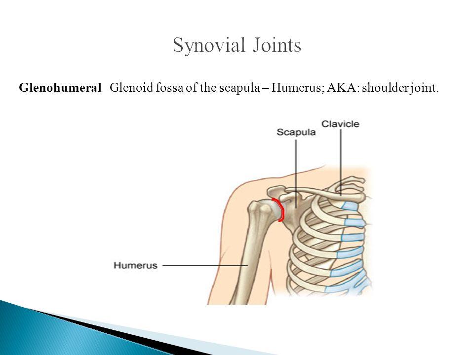 Glenohumeral Glenoid fossa of the scapula – Humerus; AKA: shoulder joint.