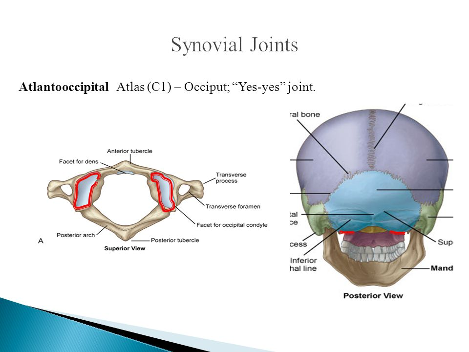 """Atlantooccipital Atlas (C1) – Occiput; """"Yes-yes"""" joint."""