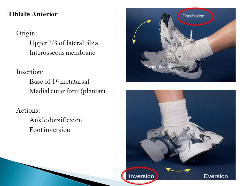 Intertarsal Tarsal – Tarsal.