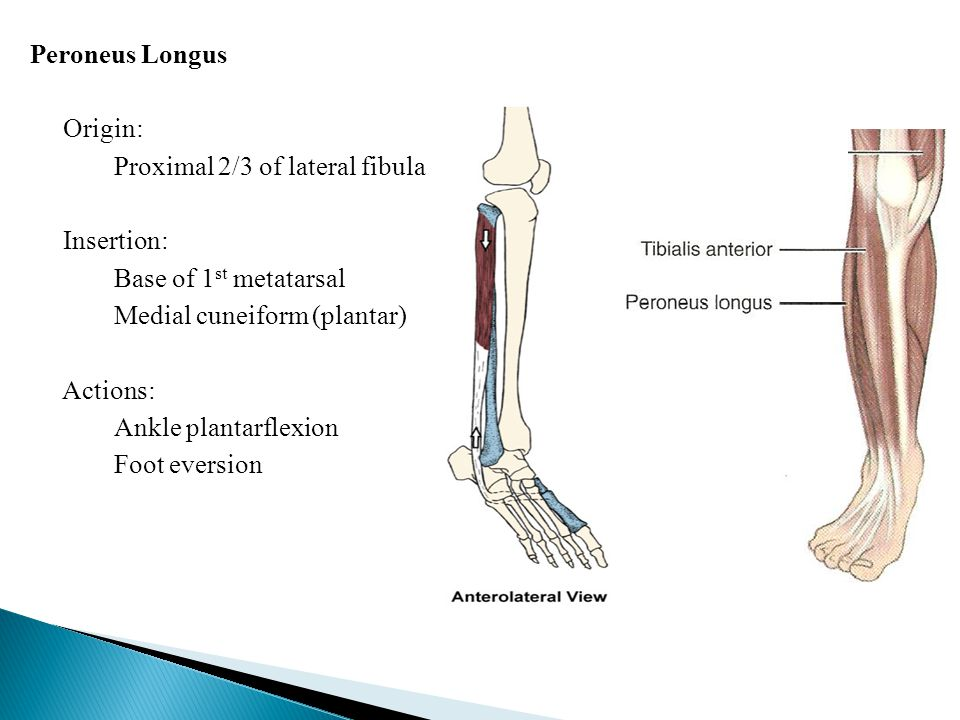 Peroneus Longus Origin: Proximal 2/3 of lateral fibula Insertion: Base of 1 st metatarsal Medial cuneiform (plantar) Actions: Ankle plantarflexion Foot eversion